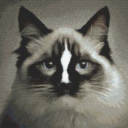 Wzór graficzny online - Kot ragdoll